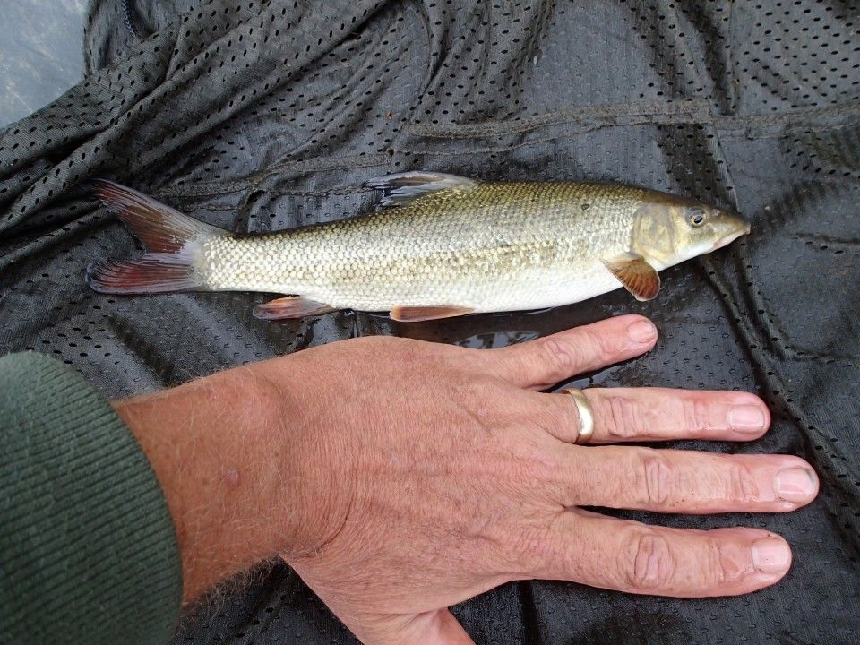 young barbel next to a hand