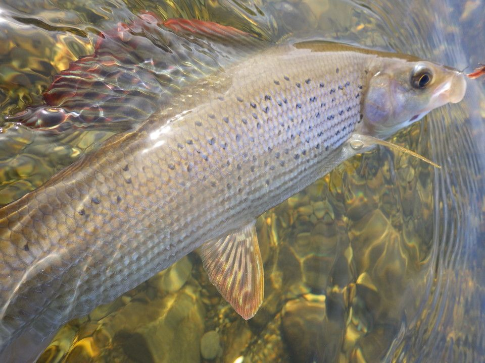 hooked grayling in water